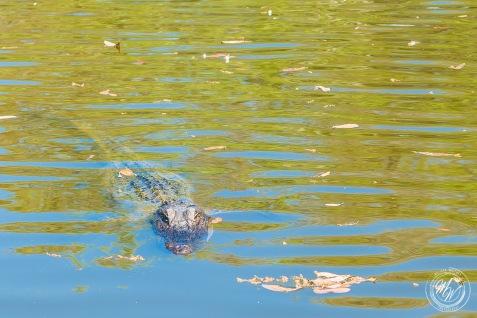 Louisiana Swamp Tour-29